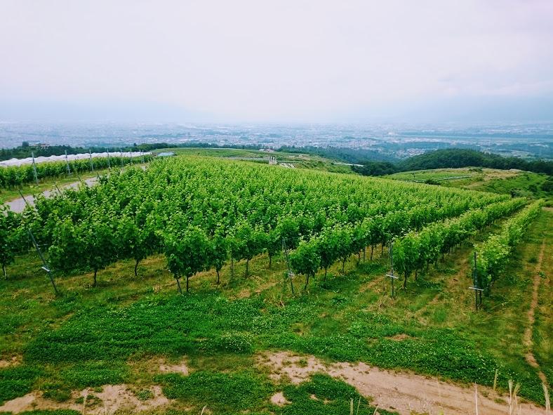 登美の丘ワイナリー ブドウ畑