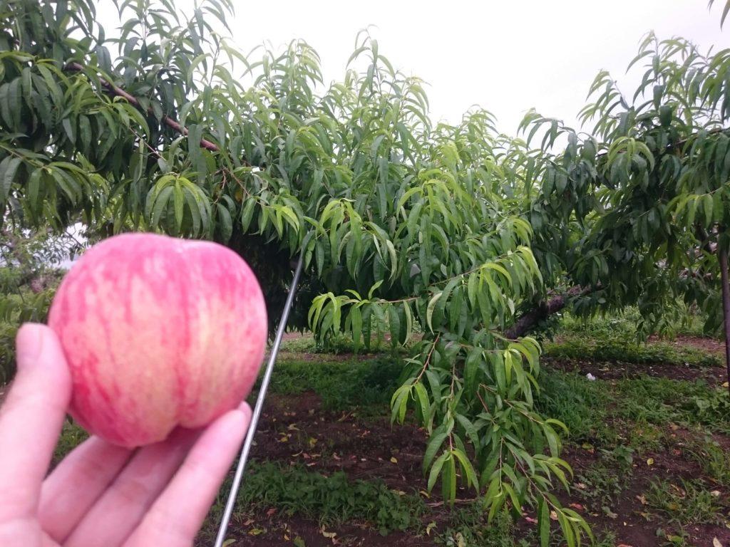 見晴し園 桃畑